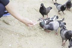 Consumición de las palomas Imagen de archivo