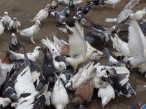 Consumición de las palomas del animal doméstico Fotografía de archivo