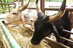 Consumición de las vacas Fotos de archivo