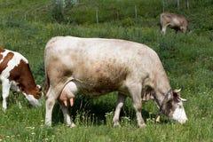 Consumición de las vacas Imágenes de archivo libres de regalías