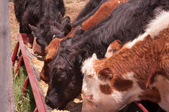 Consumición de las vacas Foto de archivo