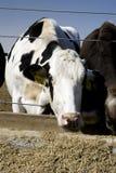 Consumición de las vacas Imagen de archivo