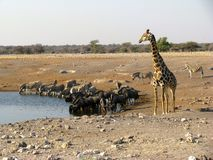 Consumición de los animales de los variuos de Namibia Foto de archivo