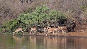 Consumición de los antílopes del impala almacen de metraje de vídeo