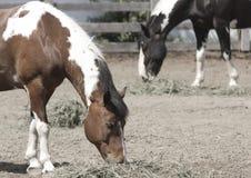 Consumición de los caballos Fotos de archivo libres de regalías