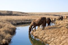 Consumición de los caballos cuartos Fotos de archivo libres de regalías