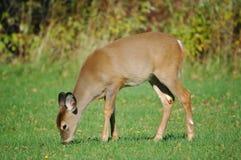 Consumición de los ciervos 2 del bebé Imágenes de archivo libres de regalías