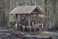 Consumición de los ciervos comunes en un bosque en Alemania foto de archivo libre de regalías