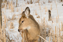 Consumición de los ciervos del bebé Fotos de archivo