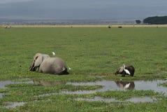 Consumición de los elefantes Foto de archivo libre de regalías
