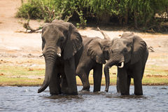 Consumición de los elefantes Imagenes de archivo