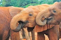 Consumición de los elefantes Imagen de archivo libre de regalías