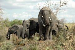 Consumición de los elefantes africanos fotos de archivo