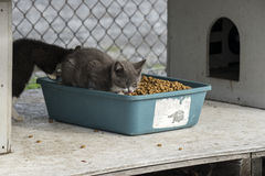 Consumición de los gatos Fotografía de archivo
