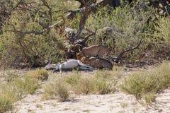 Consumición de los guepardos Fotografía de archivo libre de regalías