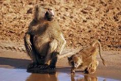 Consumición de los monos imagen de archivo libre de regalías