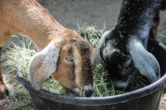 Consumición de los niños de la cabra imagenes de archivo
