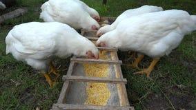 Consumición de los pollos del patio trasero almacen de video