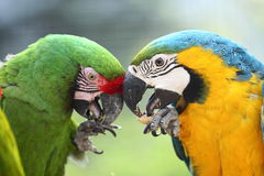 Consumición de macaws Fotos de archivo