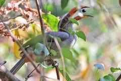 Consumición de Malabar Grey Hornbill Fotografía de archivo libre de regalías