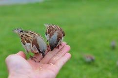 Consumición de pájaros Imágenes de archivo libres de regalías