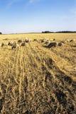 Consumición de Sheeps Imagen de archivo libre de regalías