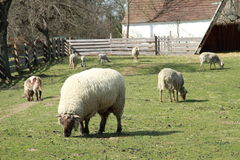Consumición de sheeps Fotos de archivo
