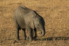 Consumición del bebé del elefante Imagen de archivo