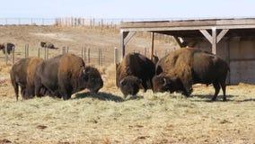 Consumición del bisonte almacen de video