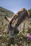 Consumición del burro Foto de archivo