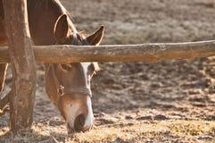 Consumición del caballo Fotografía de archivo