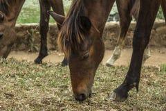 Consumición del caballo Imagen de archivo libre de regalías