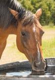 Consumición del caballo de bahía roja fotografía de archivo