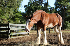 Consumición del caballo de Clydesdale Imagen de archivo libre de regalías