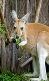 Consumición del canguro Foto de archivo
