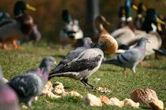 Consumición del cuervo Imagen de archivo libre de regalías