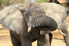 Consumición del elefante foto de archivo