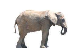 Consumición del elefante Imagenes de archivo