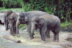 Consumición del elefante Foto de archivo libre de regalías