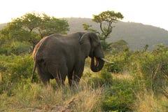 Consumición del elefante africano foto de archivo libre de regalías