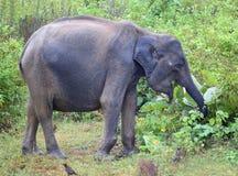 Consumición del elefante indio Imagenes de archivo