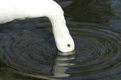 Consumición del ganso imágenes de archivo libres de regalías