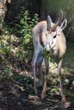 Consumición del gazelle del rhim Fotos de archivo libres de regalías