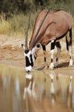 Consumición del Gemsbok (gazella del Oryx) fotos de archivo libres de regalías