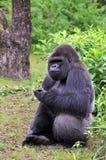 Consumición del gorila Imagenes de archivo