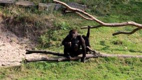 Consumición del gorila femenino y de los jóvenes que pasan gorilas almacen de video