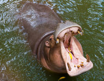 Consumición del hipopótamo Foto de archivo