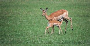 Consumición del impala del bebé. Imagenes de archivo
