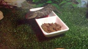 Consumición del lagarto de la lengua de azules cielos Fotos de archivo