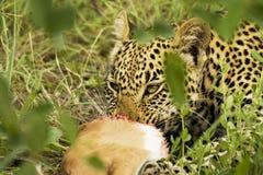 Consumición del leopardo Imágenes de archivo libres de regalías